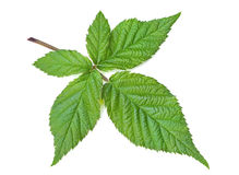 Blackberry leaf isolated Stock Image