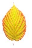 Blackberry leaf isolated Stock Image