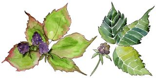Blackberry leaf. Leaf plant botanical garden floral foliage. Blackberry leaves in a watercolor style isolated. Aquarelle leaf for background, texture, wrapper royalty free illustration