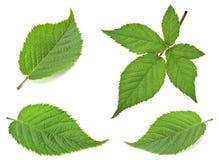 Blackberry leaf set Royalty Free Stock Photo