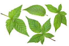 Blackberry leaf set Stock Photography