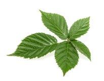 Blackberry leaf  on white background.  Stock Image