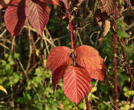 Blackberry leaves autumn. Red leaves in autumn blackberries in the sun Royalty Free Stock Images