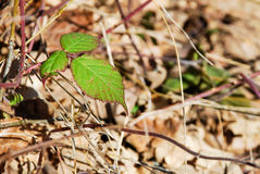 Blackberry leaves. On a dry background Stock Images