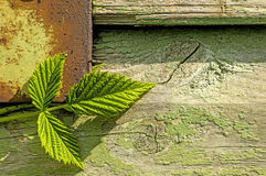 Blackberry leaves on old wooden wall Royalty Free Stock Photo