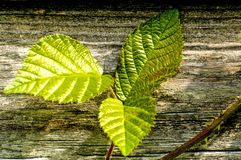 Blackberry leaves on old wooden wall Stock Photography