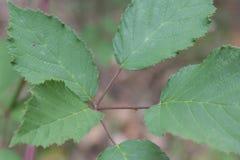 Blackberry Leaves Stock Photo