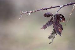 Blackberry leaves Stock Images
