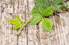 Blackberry Leaves on wooden background Royalty Free Stock Photo