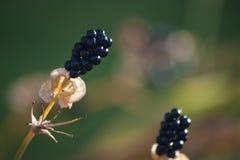 Blackberry-Liliensamen mit Bokeh Stockfotografie