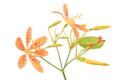 Blackberry lily Stock Photo