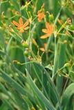 Blackberry Lily flower in garden Stock Images
