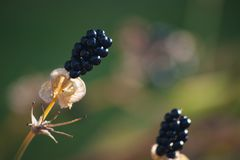 Blackberry lily seeds with Bokeh stock photography