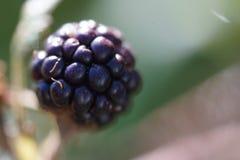Blackberry-Makro Stockbild