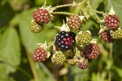 Blackberry - Mellow and green berries Stock Image