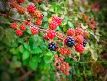 Blackberry. Mulberry blackberry fruit Royalty Free Stock Image