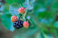 Blackberry in the nature. Wild blackberries on branch in the nature with green background Royalty Free Stock Photos