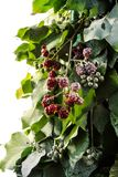Blackberry New Year tree Royalty Free Stock Photo