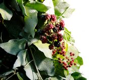 Blackberry New Year tree Royalty Free Stock Photography