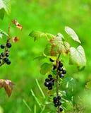 Blackberry-Niederlassung Lizenzfreies Stockfoto