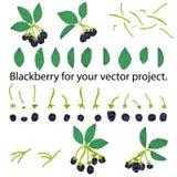 Blackberry op witte achtergrond wordt geïsoleerd die Afzonderlijke elementen voor uw vectorproject stock illustratie