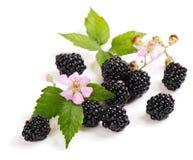Blackberry på fatta och blomman Fotografering för Bildbyråer