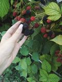 Blackberry. Photo of fresh little red fruits, raspberrys and blackberrys, different green leaf in background Royalty Free Stock Images