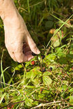 Blackberry Picking Royalty Free Stock Photography