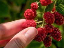 Blackberry Picking Royalty Free Stock Photo