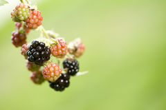 Blackberry Plant Stock Photo