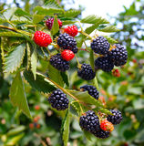 Blackberry plant. Royalty Free Stock Image