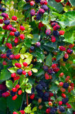Blackberry plant. Royalty Free Stock Images