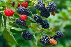 Blackberry plant. Stock Photos
