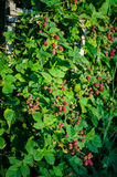 Blackberry plant. Rubus fruticosus- blackberry branches with fruits and leaves stock photos