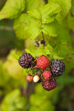 Blackberry and raspberry hybrid. Ripe and ripening berries of blackberry and raspberry hybrid Stock Images