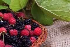 Blackberry and raspberry with leaves in a basket. Blackberries and raspberries carefully chosen and placed in a basket Stock Photo