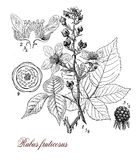 Blackberry or raspberry plant, botanical vintage engraving. Vintage print describing the blackberry perennial plant morphology:palmated leaves,very sharp Royalty Free Stock Images