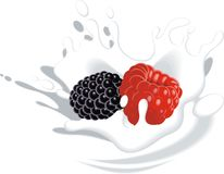 Blackberry and raspberry in yougurt or milk Royalty Free Stock Image