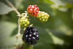 Blackberry Ready To Eat Royalty Free Stock Images