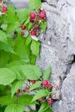 Blackberry. Ripe blackberry on a branch Stock Photos