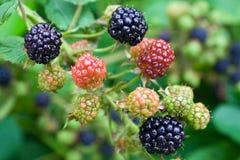 Blackberry ripening. Ripe and green blackberries on the bush Stock Images