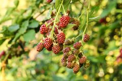 Blackberry ripening on bushes in the garden. Blackberry bush with different maturity of berries stock images
