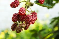 Blackberry ripening on bushes in the garden. Blackberry bush with different maturity of berries stock photo