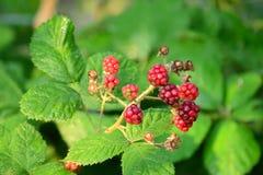 Blackberry-Rot Stockfotografie