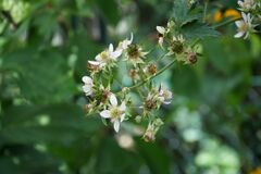 Blackberry, Rubus fruticosus `Mure Sauvage` in July in the garden. Germany