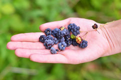 Blackberry (rubus) in hand Stock Images