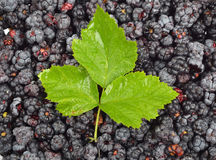 Blackberry (rubus) with leaf Royalty Free Stock Images