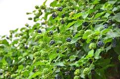 Blackberry rubus plant Stock Photos