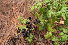 Blackberry s'élevant sur la branche dans la forêt photo libre de droits