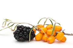 Blackberry and sea-buckthorn. Royalty Free Stock Image